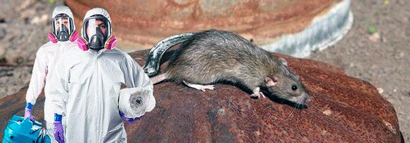 Дератизация уничтожение крыс