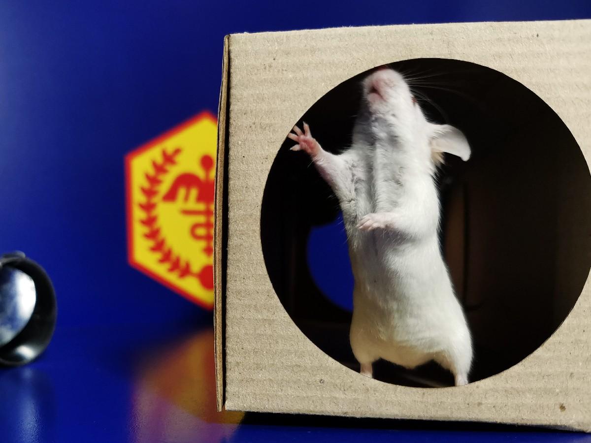 Мышь в боксе с приманкой