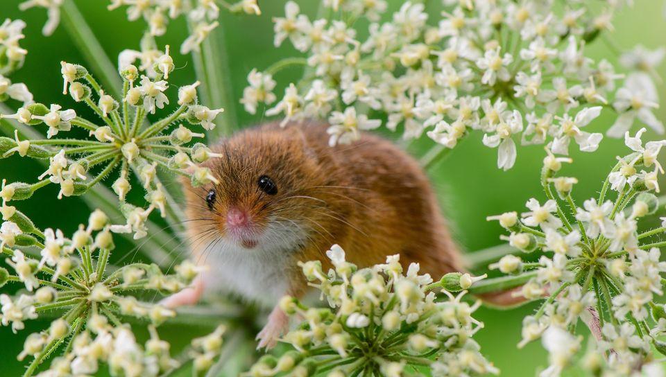 Мышь в траве