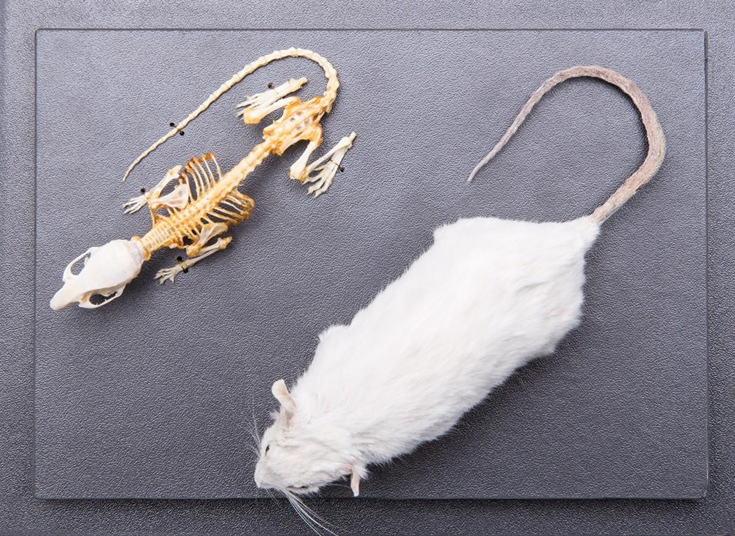Размер мыши